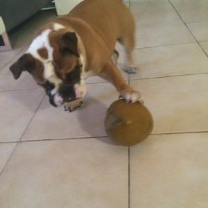 Engelse bulldog lola 3