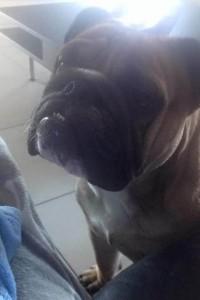 engelse-bulldog - louis (Kopie)