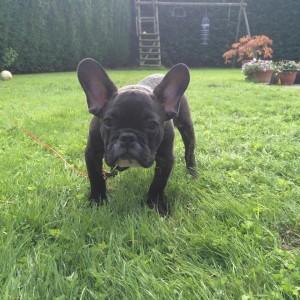 franse-bulldog-maurice-4