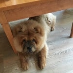 Chow Chow Woefkesranch